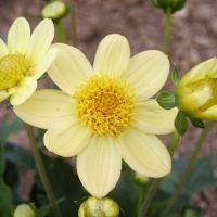 Topmix Yellow